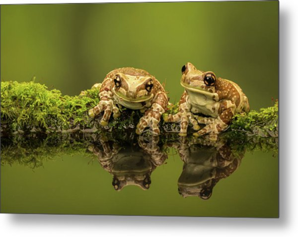 Two Amazon Milk Frogs Metal Print by Markbridger