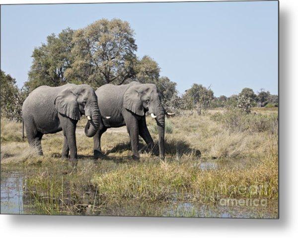 Two Bull African Elephants - Okavango Delta Metal Print