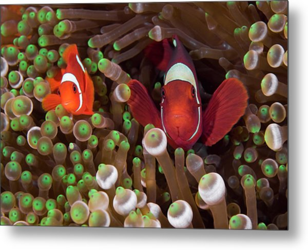 Two Clownfish (amphiprion Ocellaris Metal Print