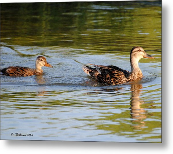 Two Ducks Swimming Metal Print