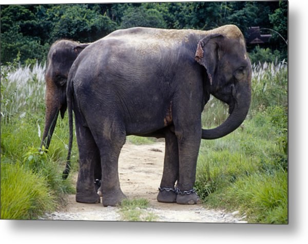 Two Elephants Metal Print