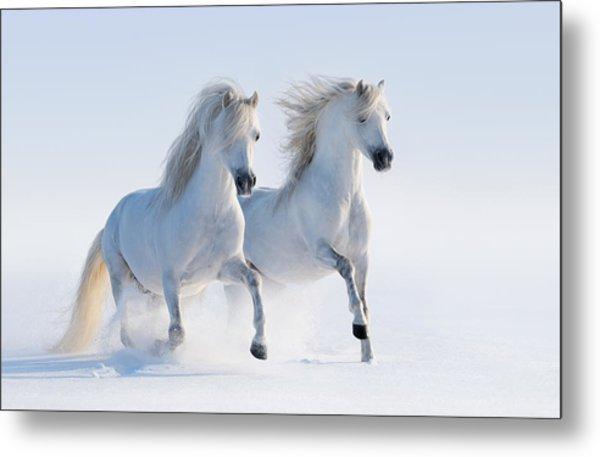 Two Galloping Snow-white Horses Metal Print by Abramova_Kseniya