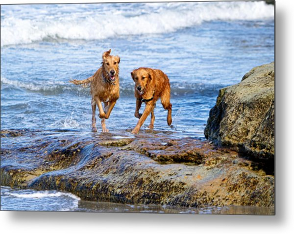 Two Golden Retriever Dogs Running On Beach Rocks Metal Print