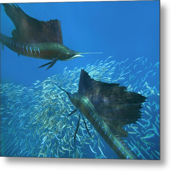 Two Indo-pacific Sailfish (istiophorus Metal Print