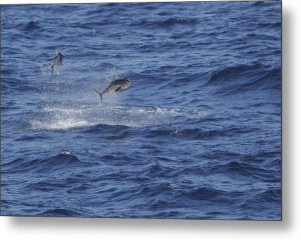 Two Jumping Yellowfin Tuna Metal Print