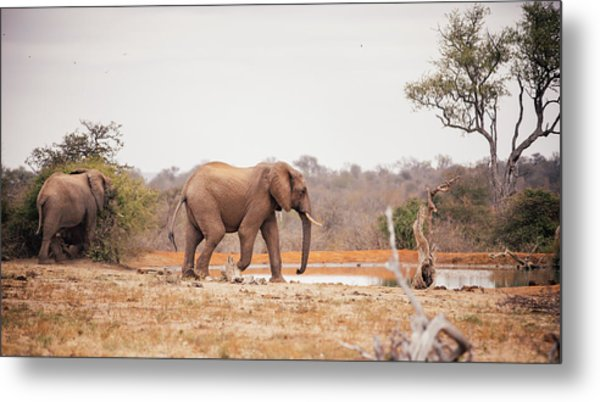Two Large Elephants Approaching A Metal Print by Wundervisuals