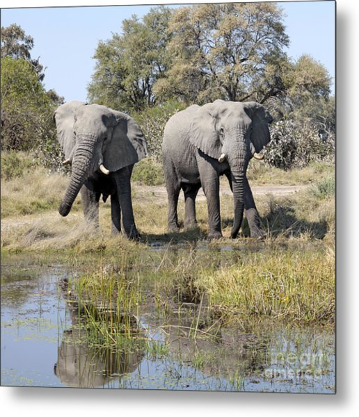 Two Male Elephants Okavango Delta Metal Print
