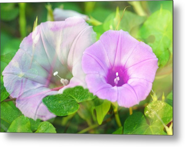 Two Morning Glories Metal Print