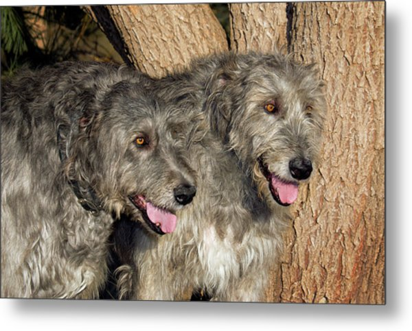 Two Purebred Irish Wolfhounds By A Tree Metal Print