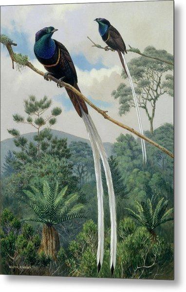 Two Ribbon Tailed Birds Of Paradise Sit Metal Print