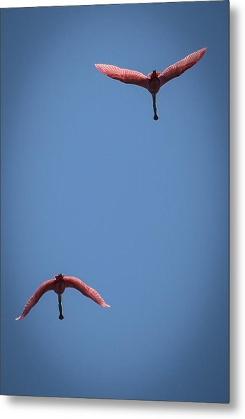 Two Spoonbills Overflying The Swamp Metal Print