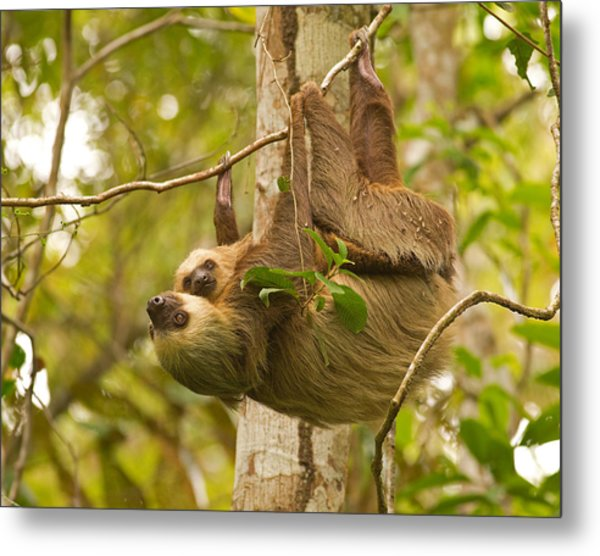 Two-toed Sloth Metal Print by Brian Magnier