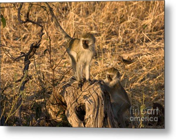 Two Vervet Monkeys Metal Print by Chris Scroggins