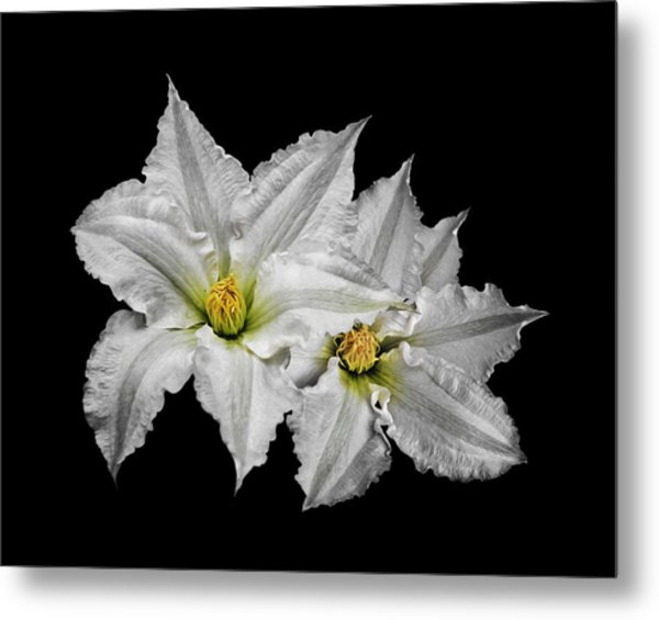 Two White Clematis Flowers On Black Metal Print