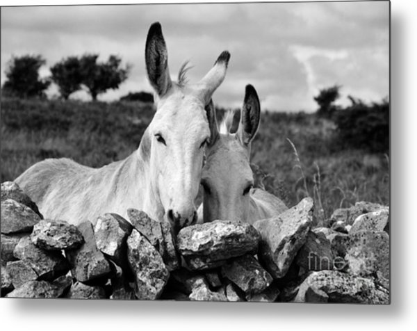 Two White Irish Donkeys Metal Print