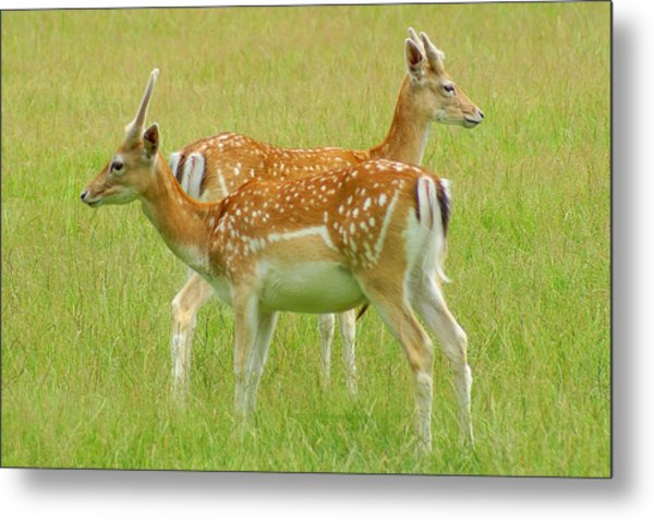 Two Young Deer Metal Print by DerekTXFactor Creative