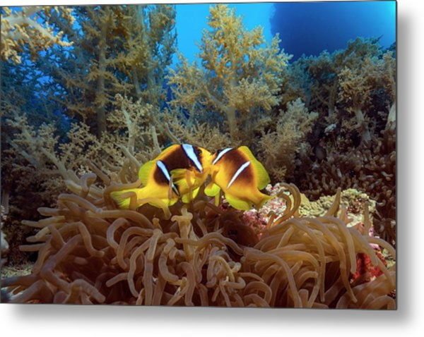Twoband Anemonefish In An Anemone Metal Print by Alexis Rosenfeld/science Photo Library