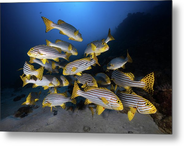 Underwater Photography-indian Ocean Sweetlips Metal Print