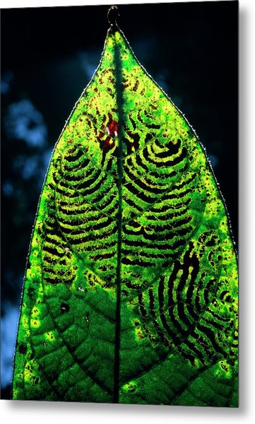 Unidentified Fungus On Rain Forest Leaf Metal Print by Dr Morley Read/science Photo Library