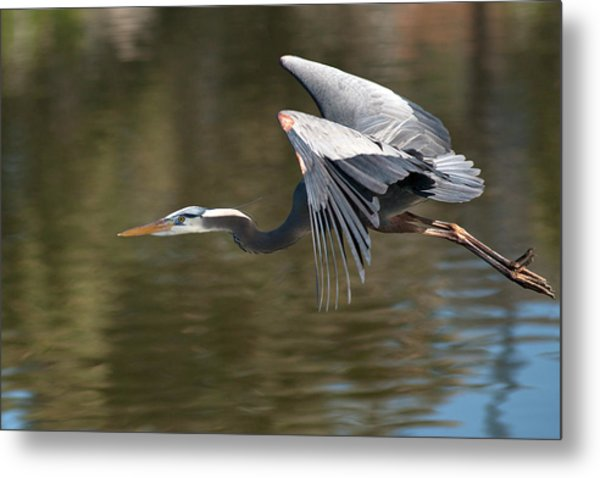 Usa, California Great Blue Heron Flying Metal Print