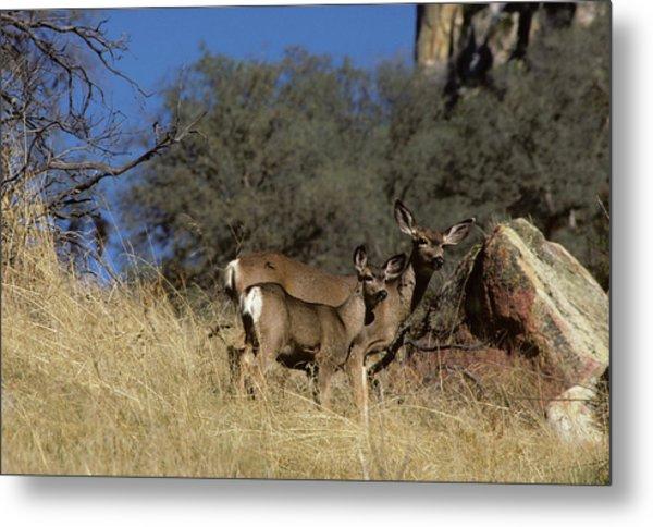 Usa, California, Mule Deer, Doe Metal Print