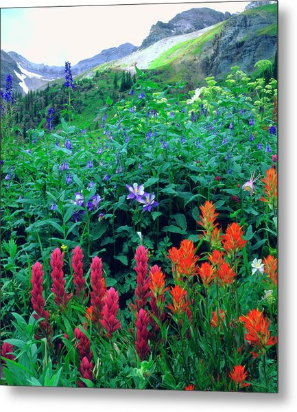 Usa, Colorado, Wildflowers In Yankee Metal Print by Jaynes Gallery