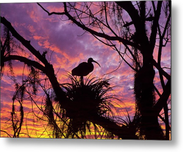 Usa, Florida Ibis On Nest At Sunset Metal Print