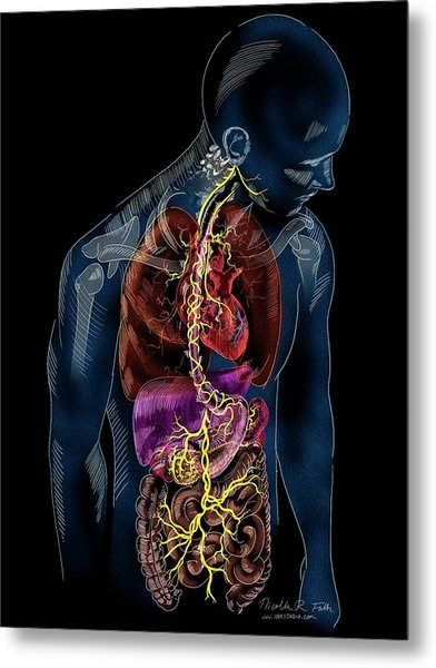 Vagus Nerve Anatomy Metal Print by Nicolle R. Fuller/science Photo Library