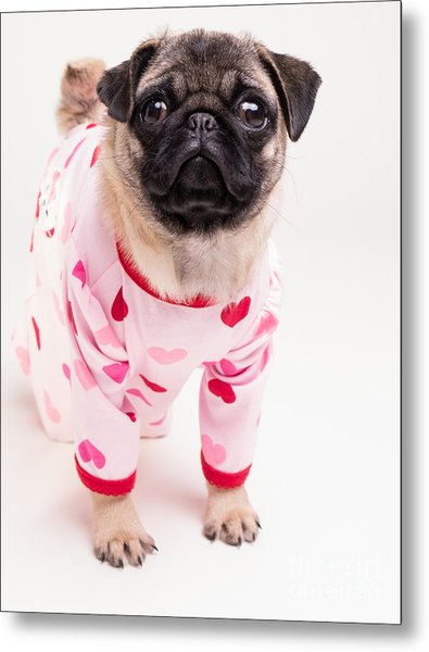 Valentine's Day - Adorable Pug Puppy In Pajamas Metal Print