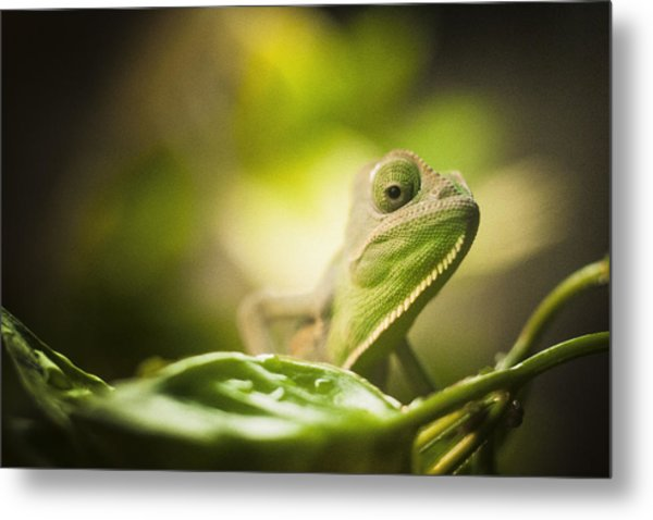 Veiled Chameleon Is Watching You Metal Print