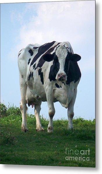 Vermont Dairy Cow Metal Print