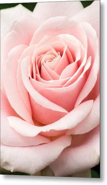 Vertical Pink Rose Metal Print