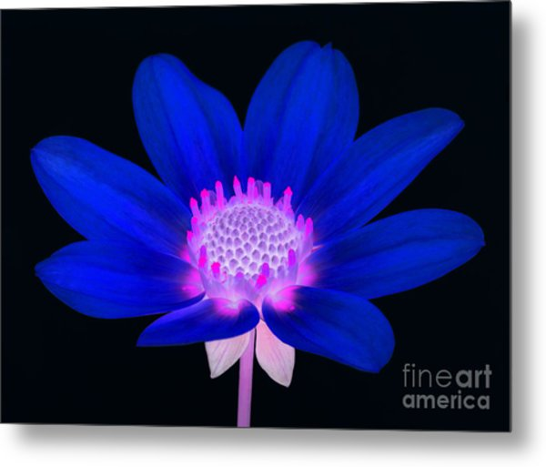 Vibrant Blue Single Dahlia With Pink Centre On Black. Metal Print by Rosemary Calvert