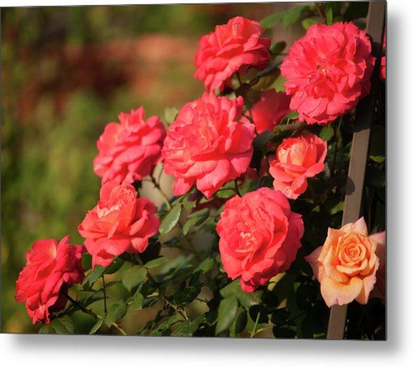 Vibrant Orange Red Rose Bush In Bloom Metal Print