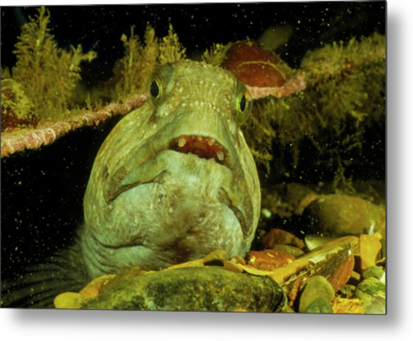 View Of A Wolf Fish Metal Print by Rudiger Lehnen/science Photo Library
