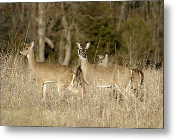 Vigilant White-tailed Deer Metal Print