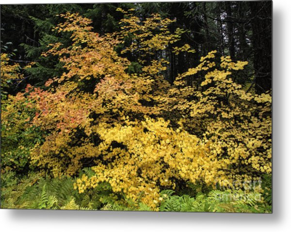 Vine Maple Glory Metal Print