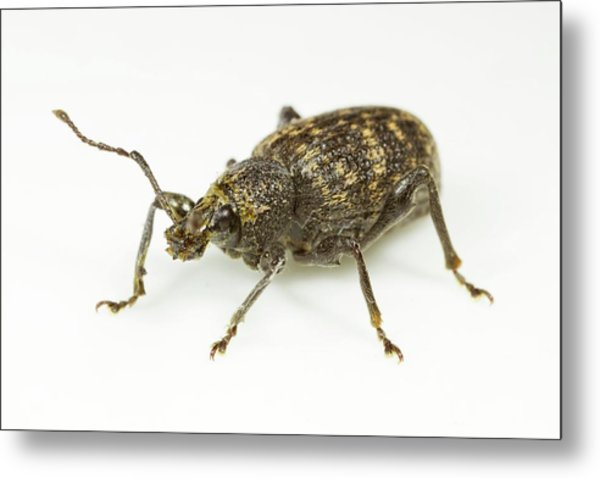 Vine Weevil Metal Print by Sinclair Stammers