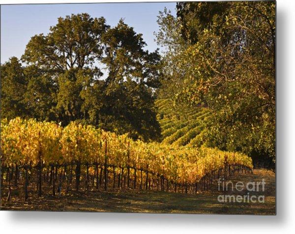 Vines And Oaks Alexander Valley Metal Print