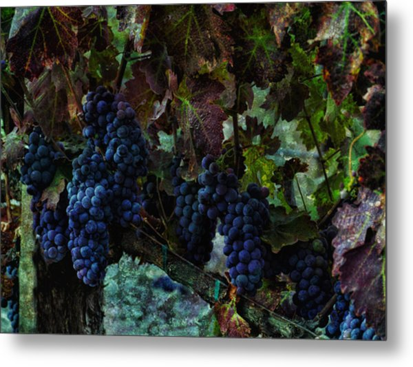 Metal Print featuring the photograph Vineyard Grapes On Vine Number Three by Bob Coates