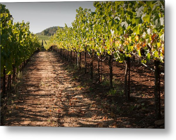 Vineyard Soil Of Sonoma Metal Print by Kent Sorensen