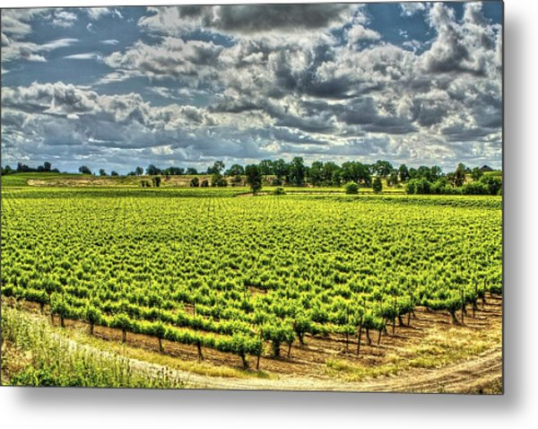 Vineyards Almost Ripe Metal Print
