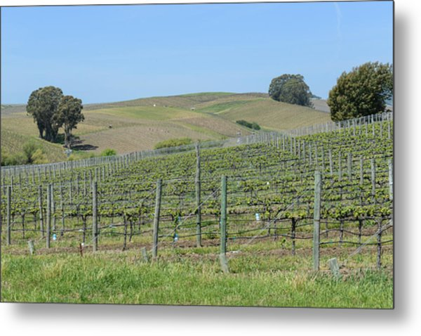 Vineyards In Napa Valley California Metal Print