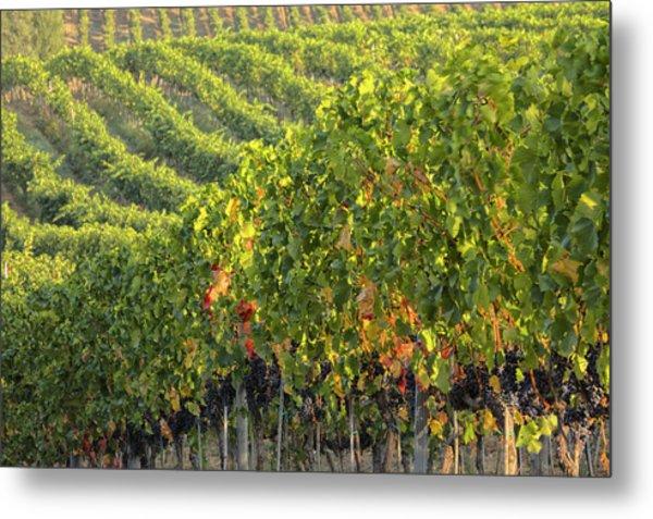 Vineyards In The Rolling Hills Metal Print