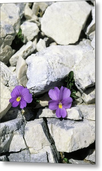 Viola Magellensis Metal Print by Bruno Petriglia/science Photo Library