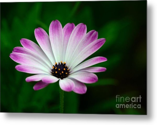 Violet And White Flower Petals With Yellow Stamens Blossoms  Metal Print