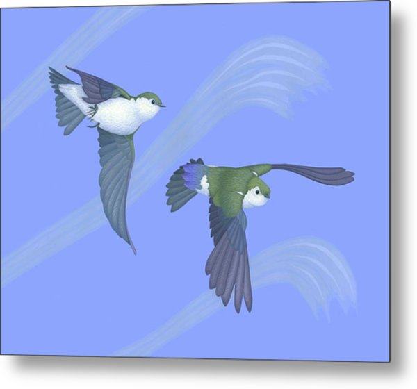 Violet-green Swallows Metal Print by Nathan Marcy