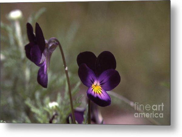 Violets -33 Metal Print by Stephen Parker
