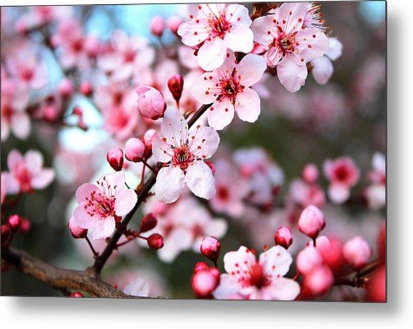 Virginia Cherry Blossom Metal Print