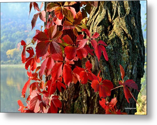 Virginia Creeper Metal Print
